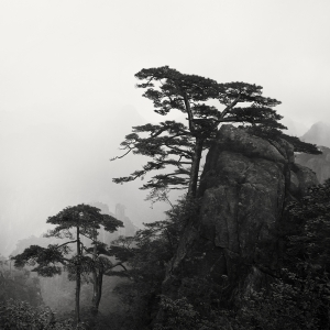 黄山 TREES NO.12 -ANHUI -CHINA -2019