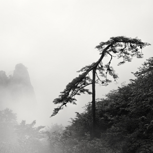 黄山 TREE NO.11 -ANHUI -CHINA -2019